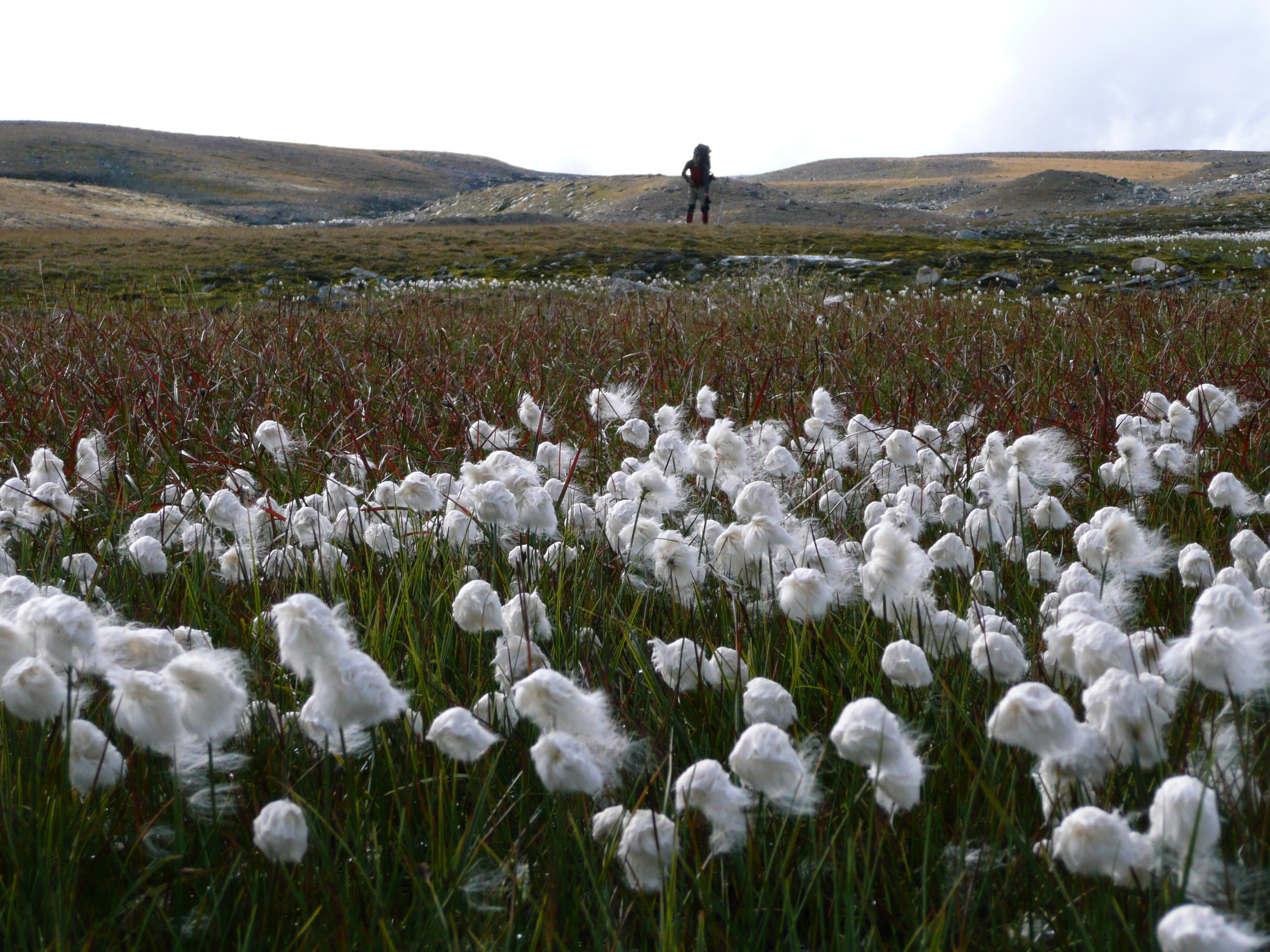 File:Sarek cotton grass.jpg