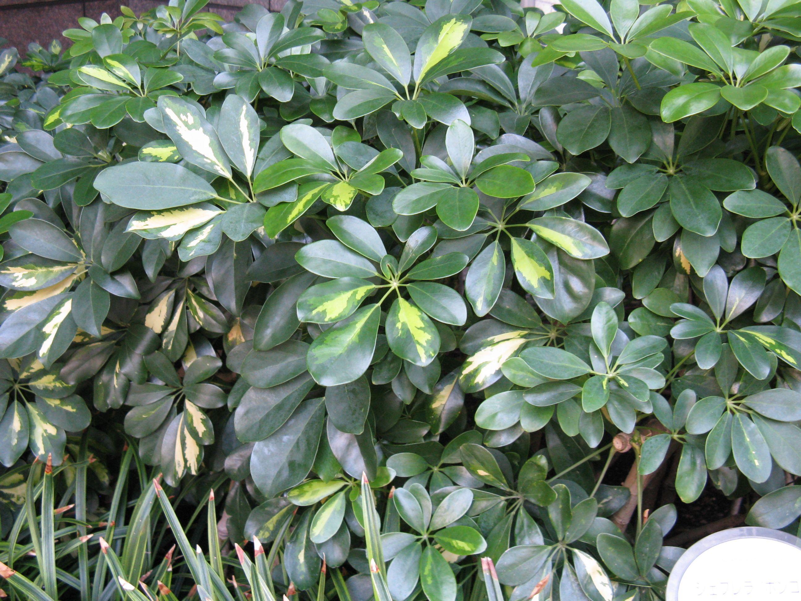 File schefflera arboricola 39 hong kong 39 wikimedia - Schefflera variegata ...