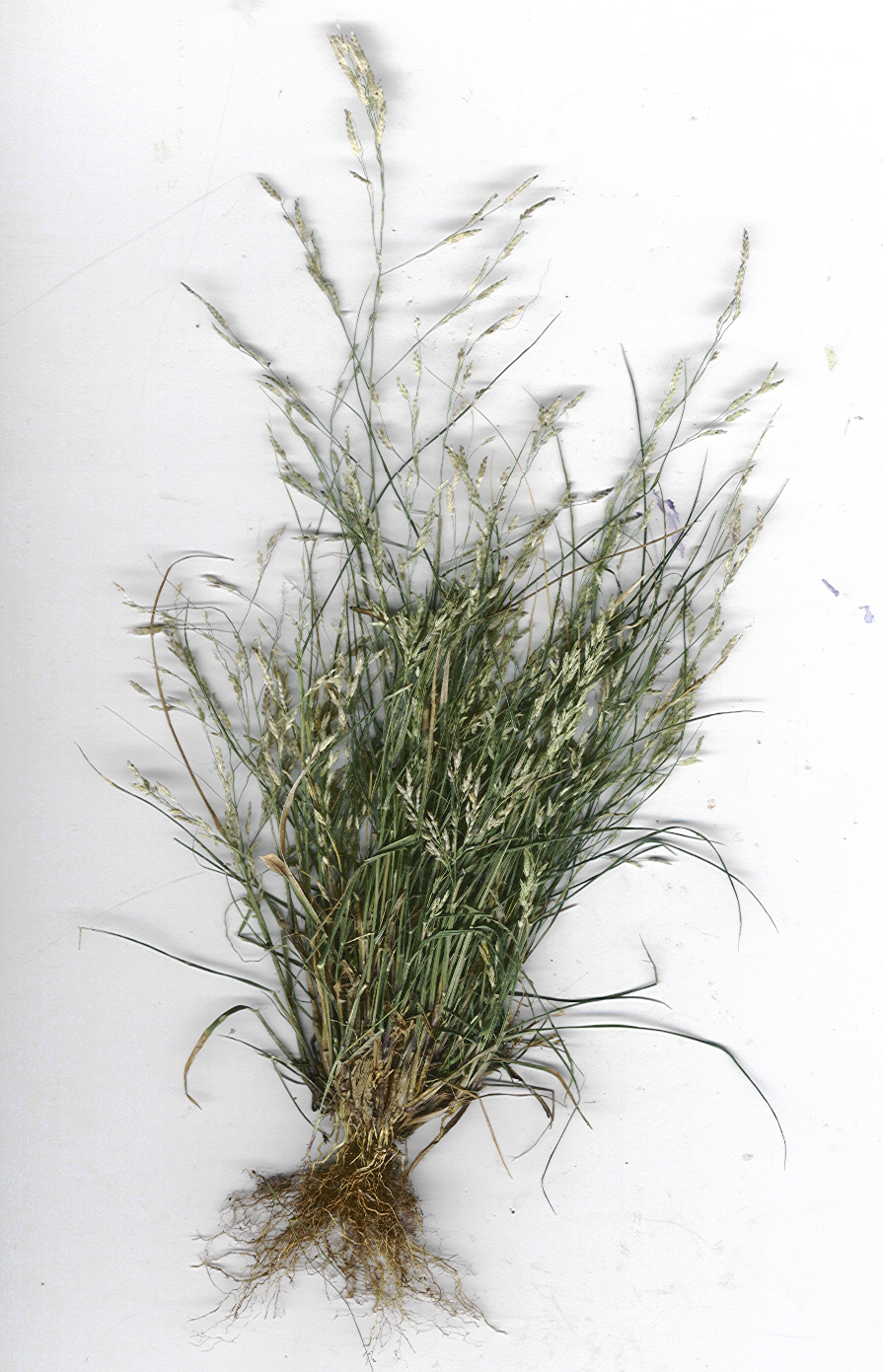 Eragrostis pectinacea - Wikipedia