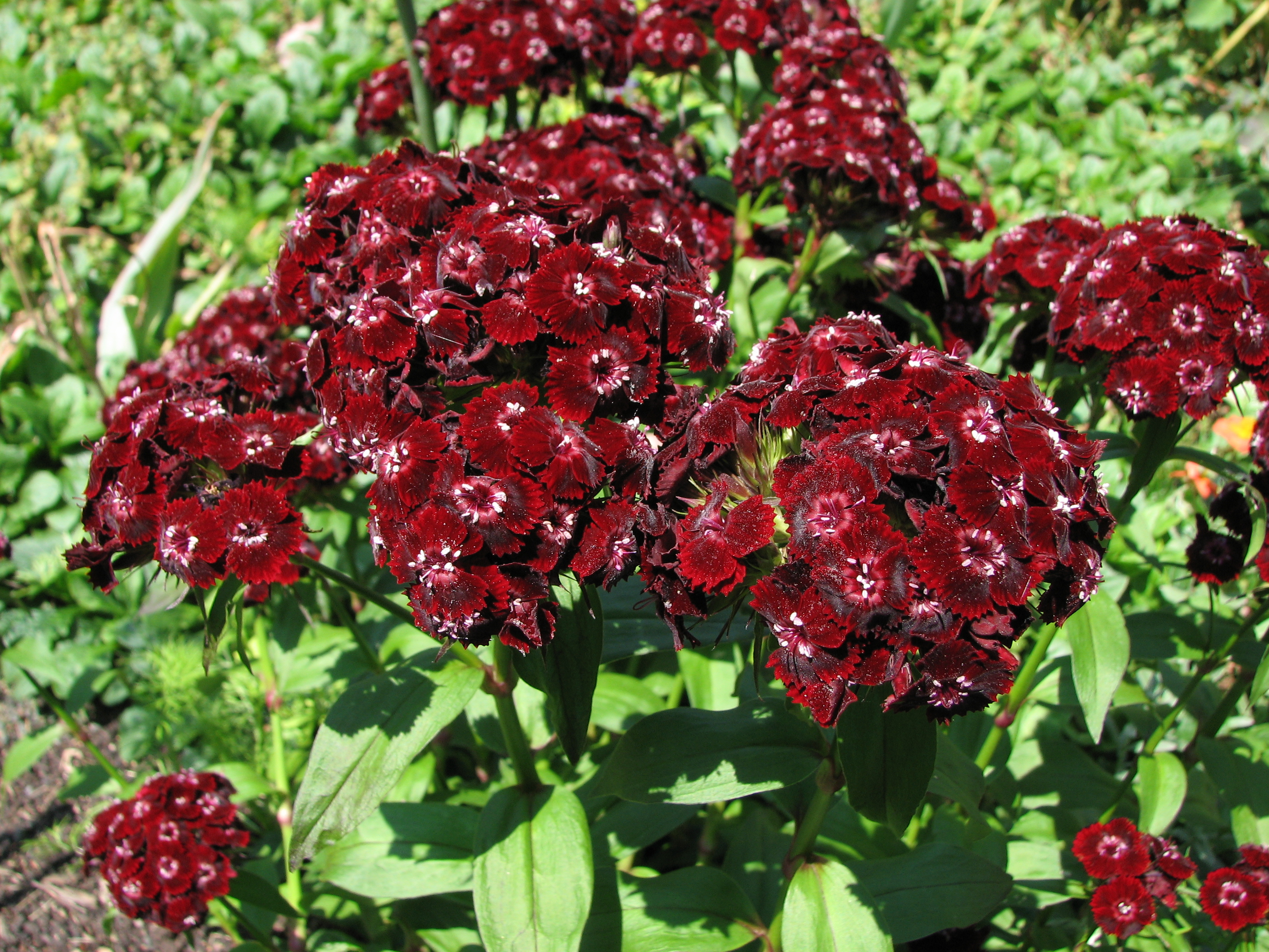File Sweet William Dianthus barbatus Heart Attack