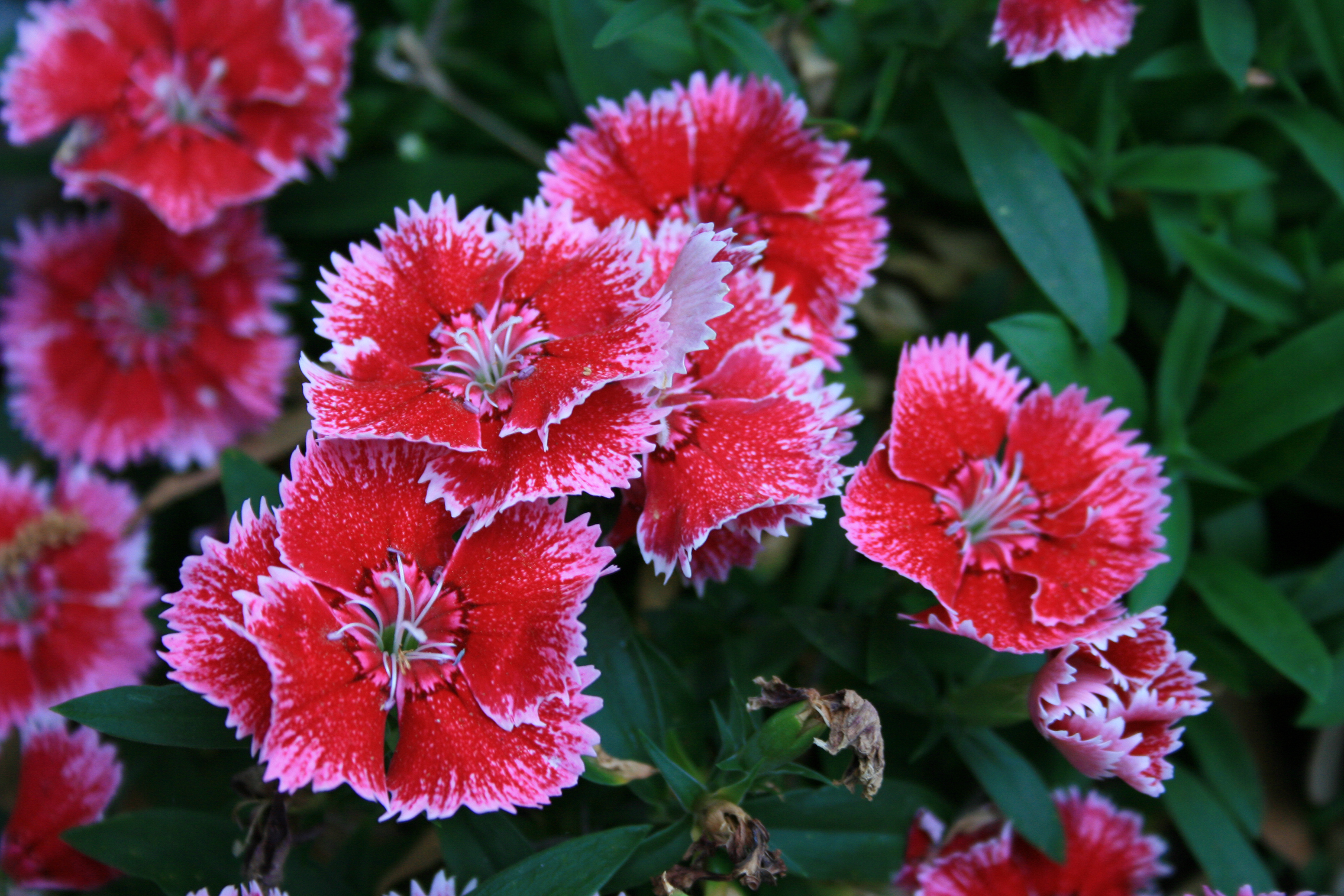 File Sweet William Flowers Digon3 JPG