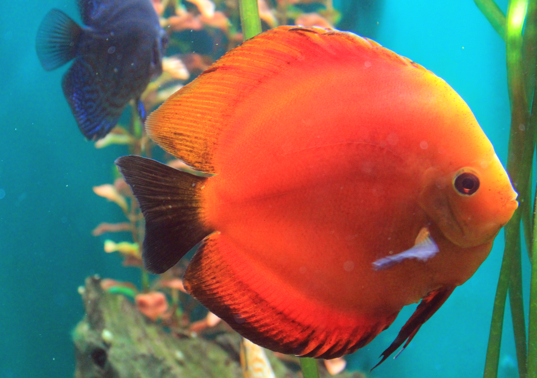 File:Symphysodon discus Prague 2011 1.jpg - Wikipedia, the free ...