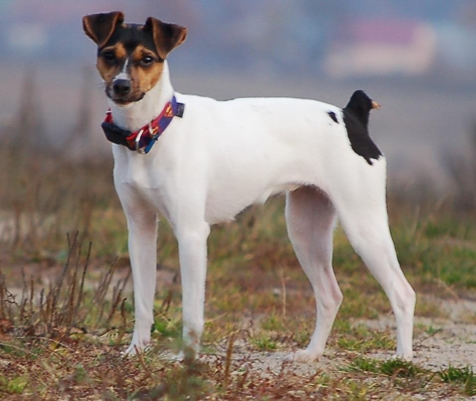 Terrier Brasileiro Wikimedia Commons