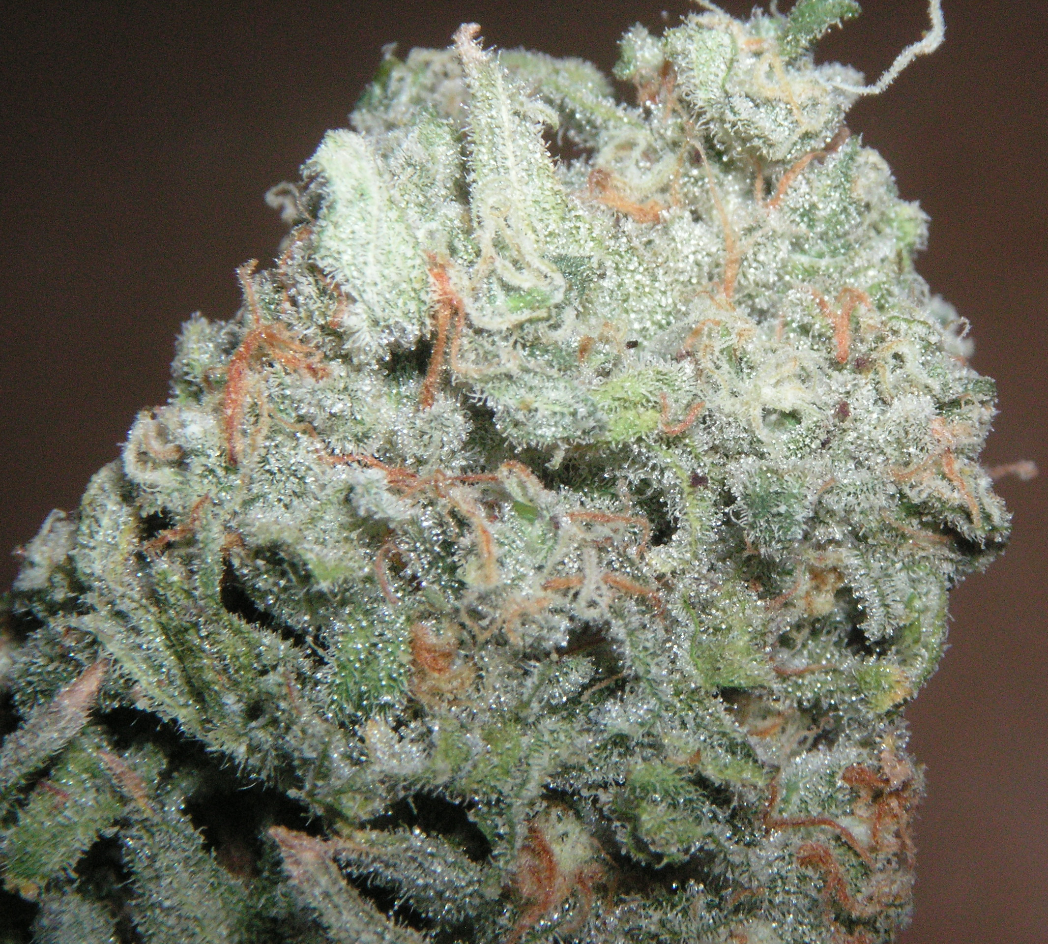 Description Trainwreck Strain jpgTrain Wreck Weed Plant