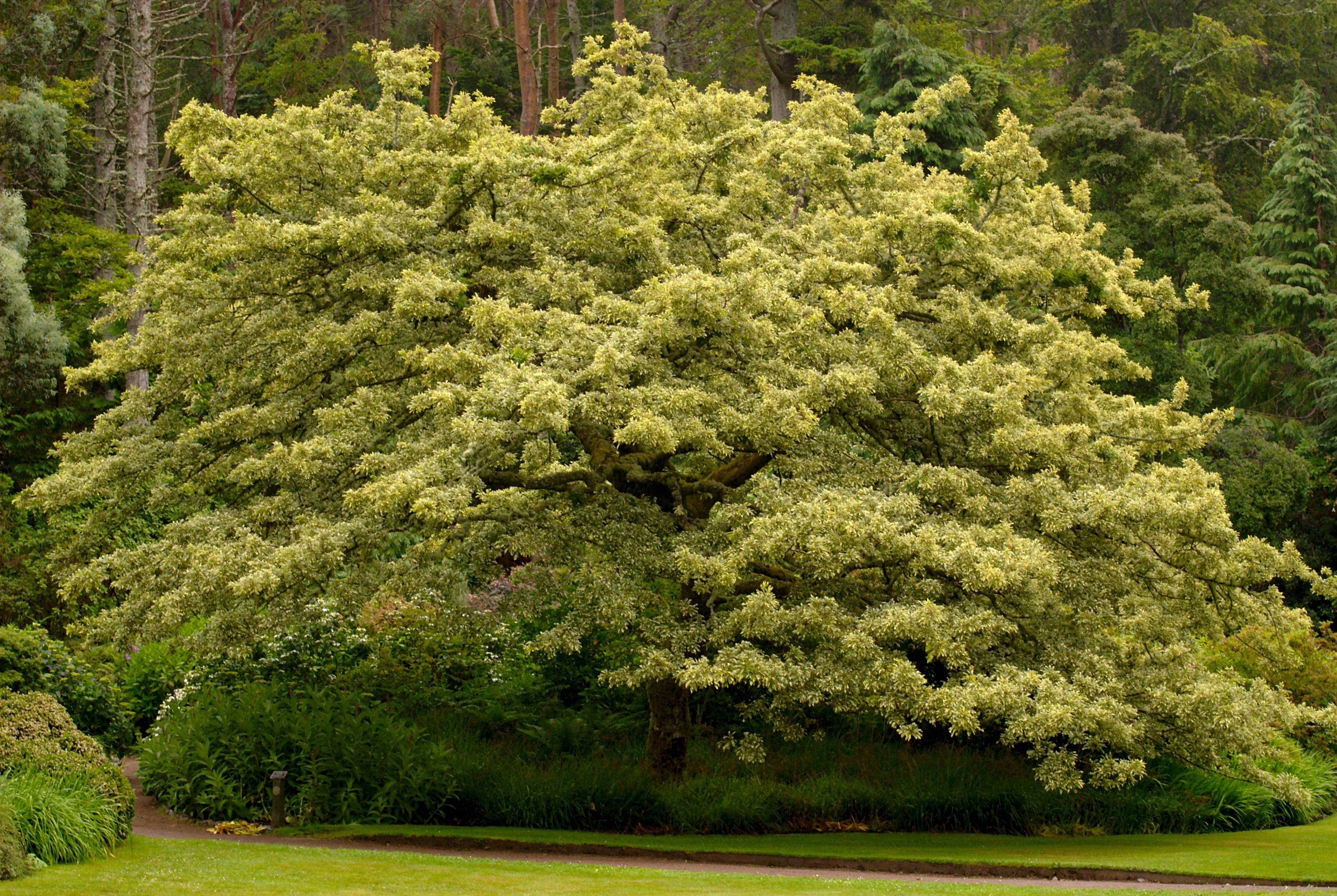 Description tree in inverewe garden