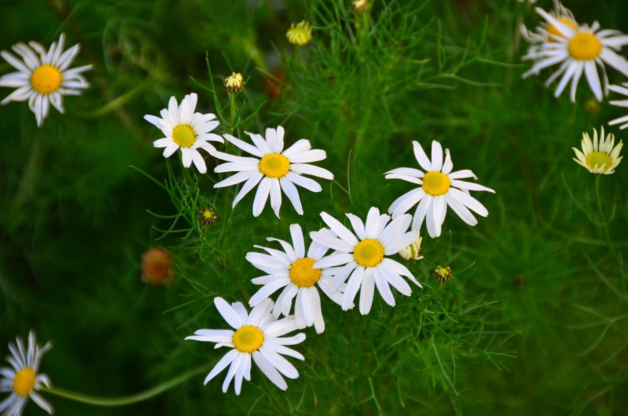 разновидность садовой ромашки - трехреберник
