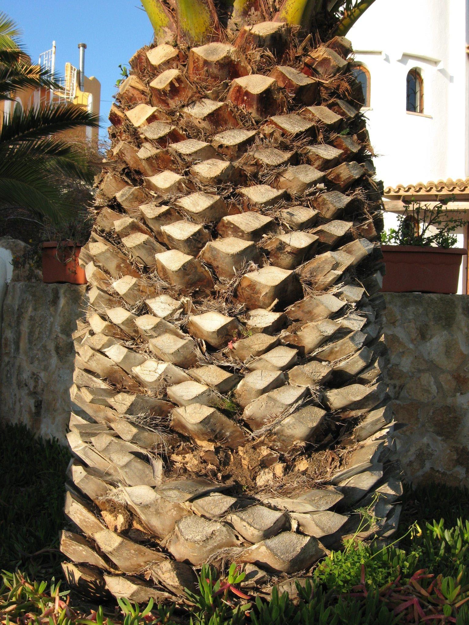 File Tropical Palm Tree Trunk  Jpg