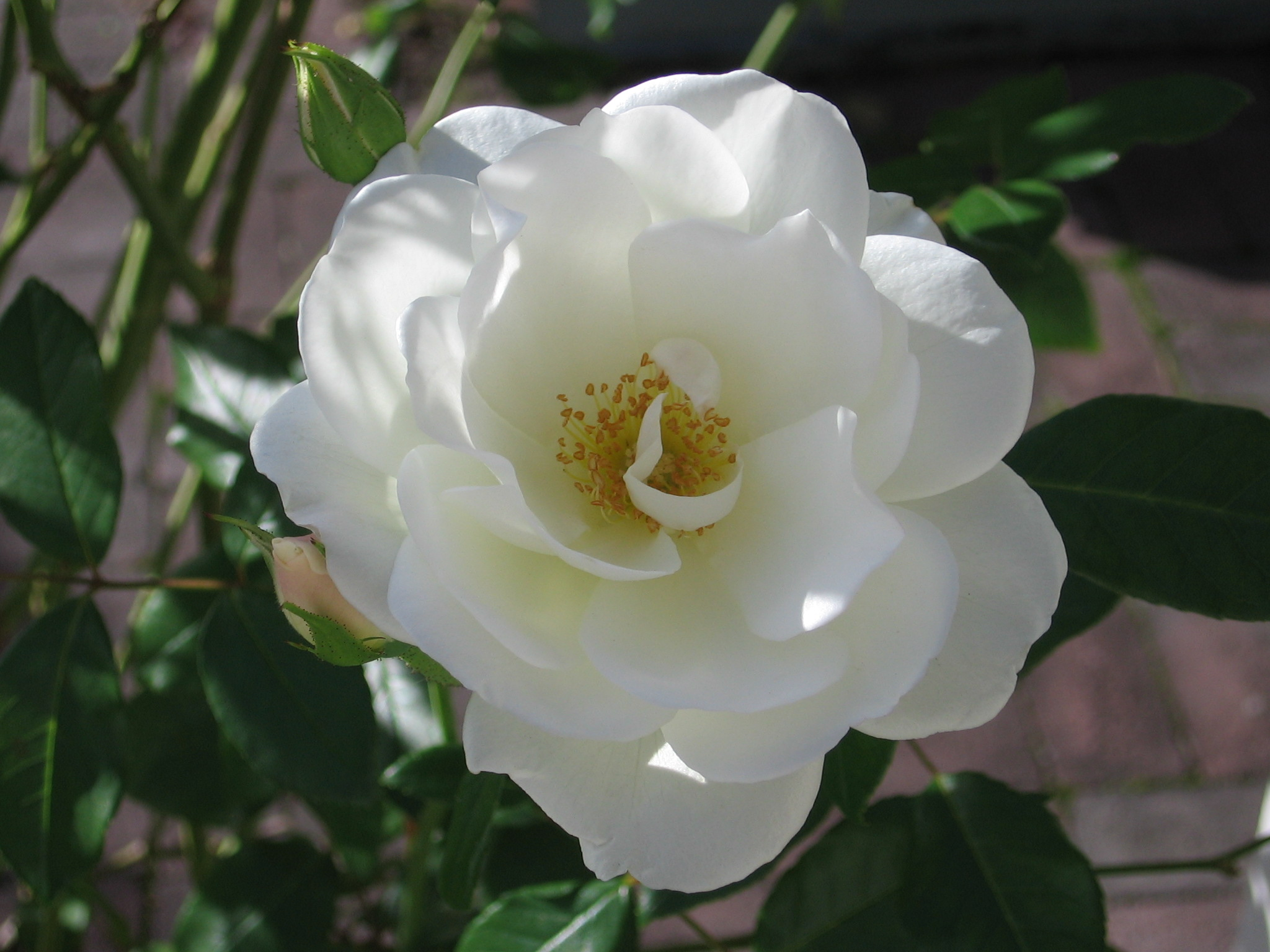 Filewhite Flower Roseg Wikimedia Commons