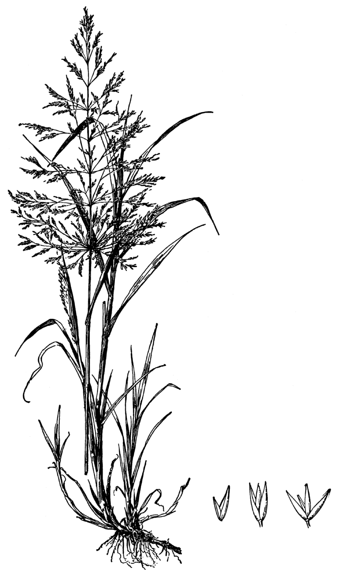 file agrostis gigantea drawing png wikipedia rose plant clipart black and white rice plant clipart black and white