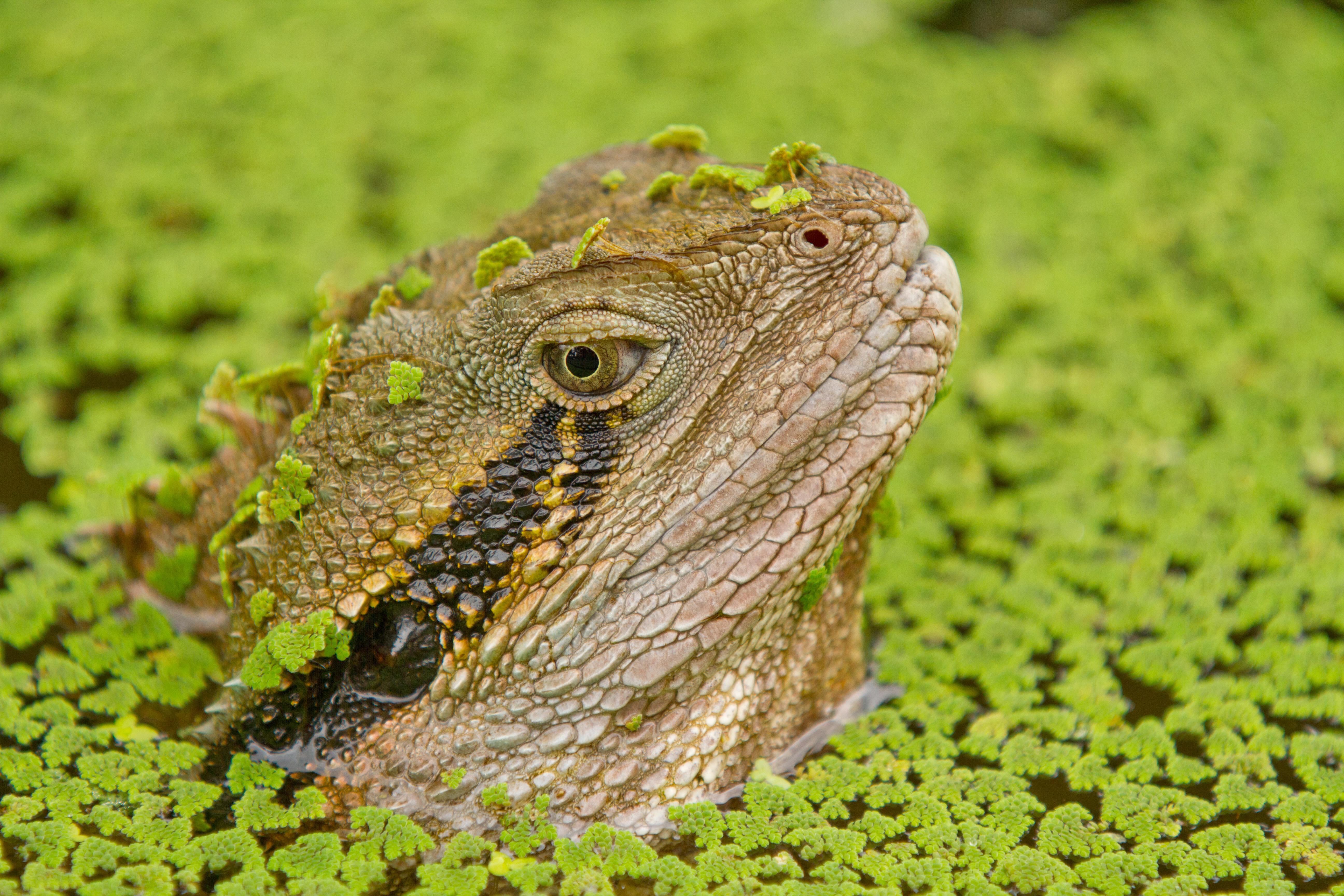 Australian Water Dragon: File:AndrewMercerIMG 5585 Australian Water Dragon.jpg