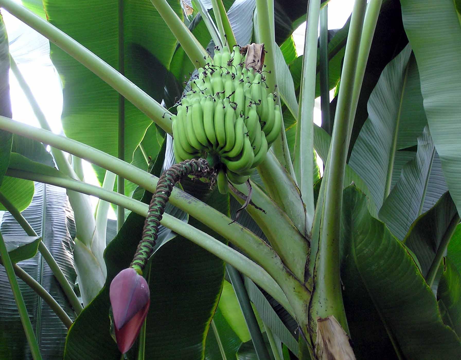 Resultado de imagen de Blue Java Banana platanero