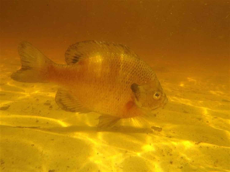 File Bluegill Fish Lepomis Macrochirus Freshwater Fish
