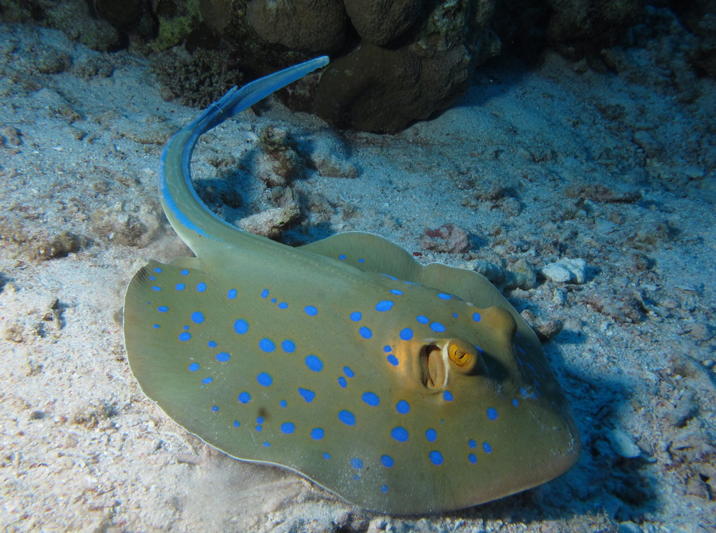 file bluespotted ribbontail ray taeniura lymma at abu dabab reefs red sea egypt. Black Bedroom Furniture Sets. Home Design Ideas