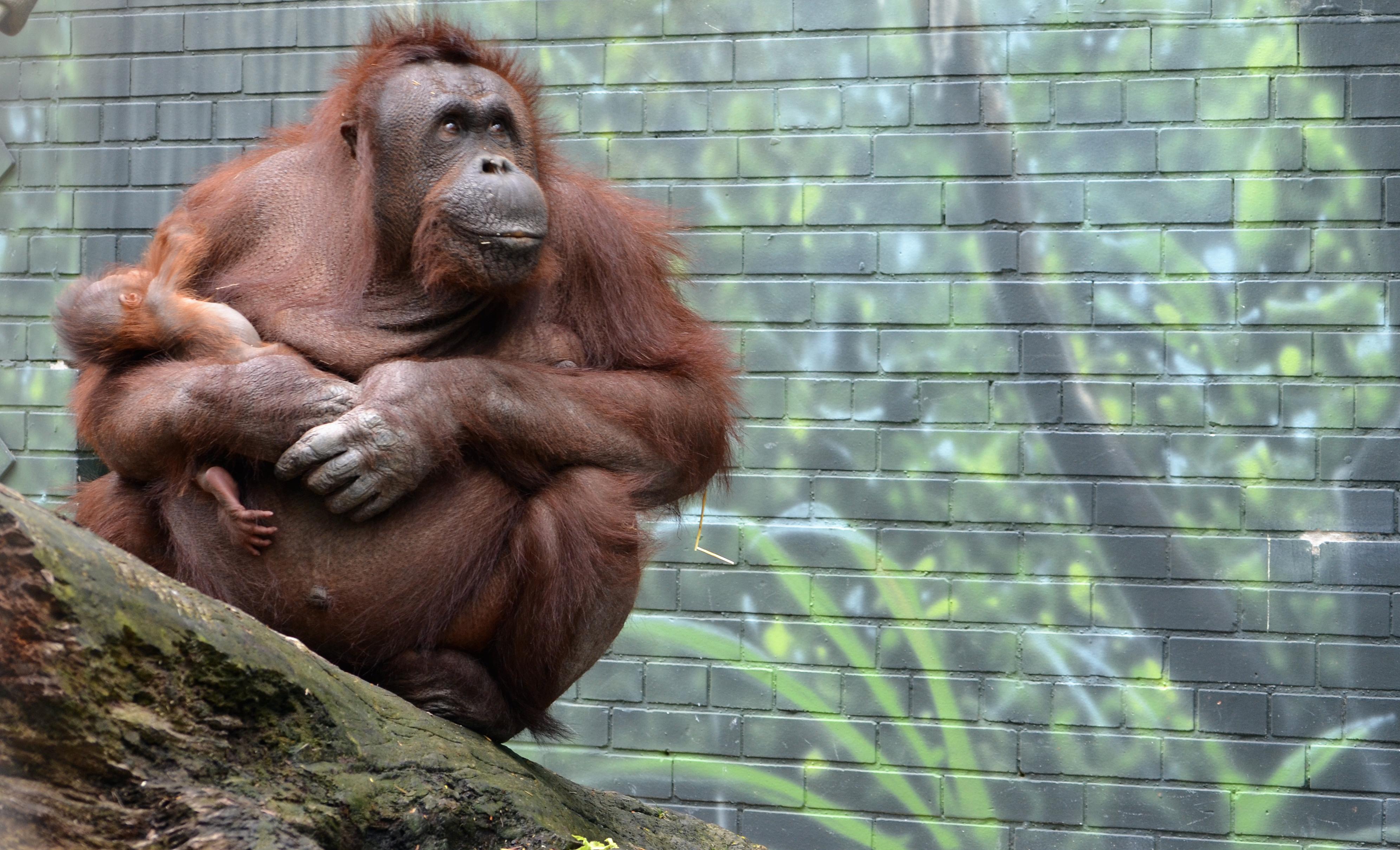 Bornean orangutans baby - photo#27