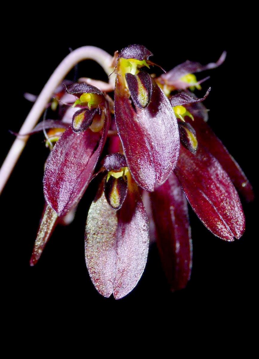 Bulbophyllum proudlockii - Wikispecies