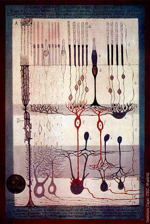 Santiago Ramón y Cajal retina
