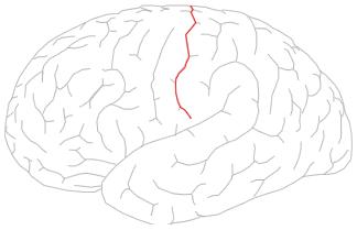 ร่องกลาง - วิกิพีเดีย, Human Body