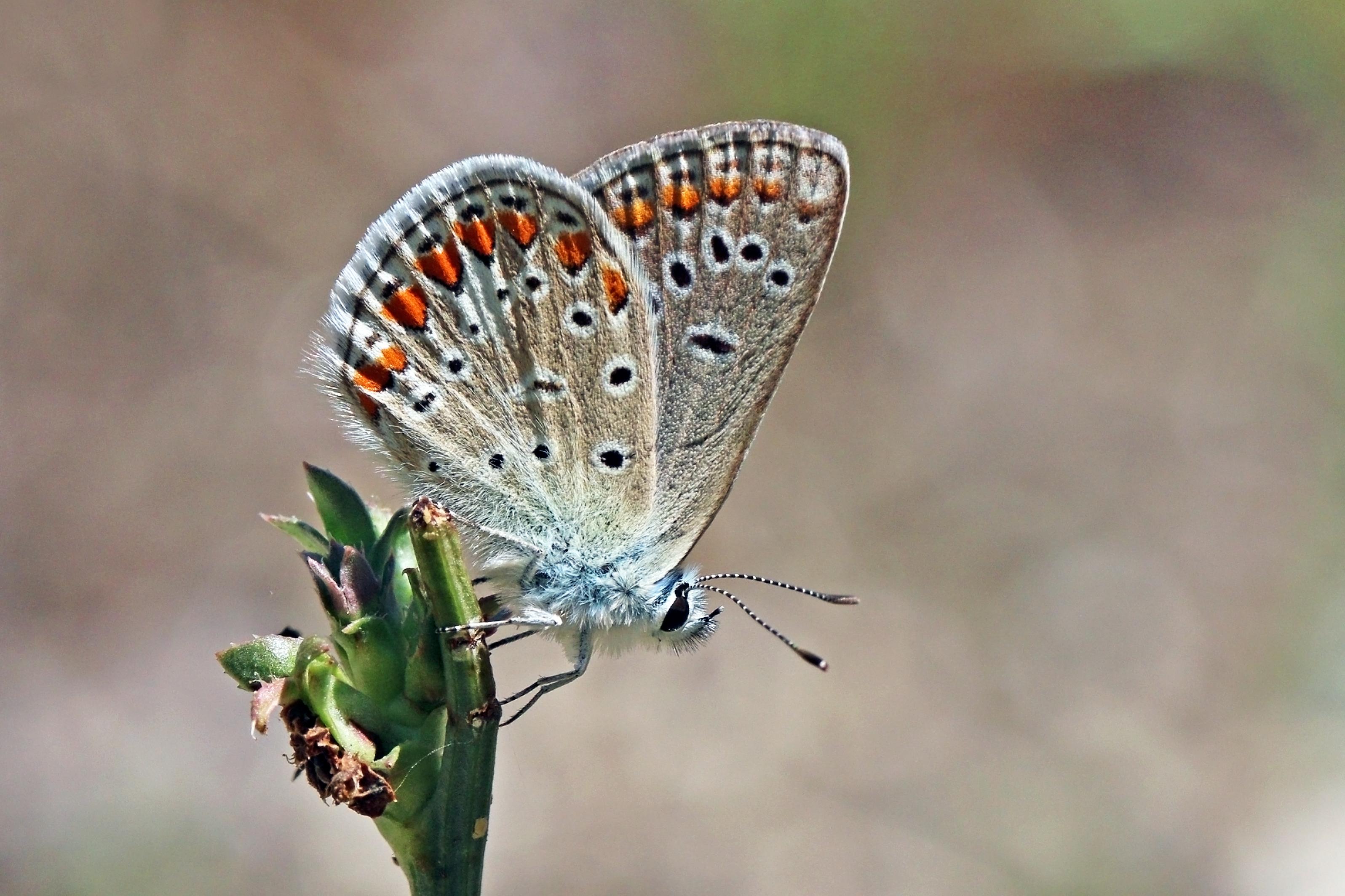 Fichier:Chapman's blue (Polyommatus thersites thersites) male