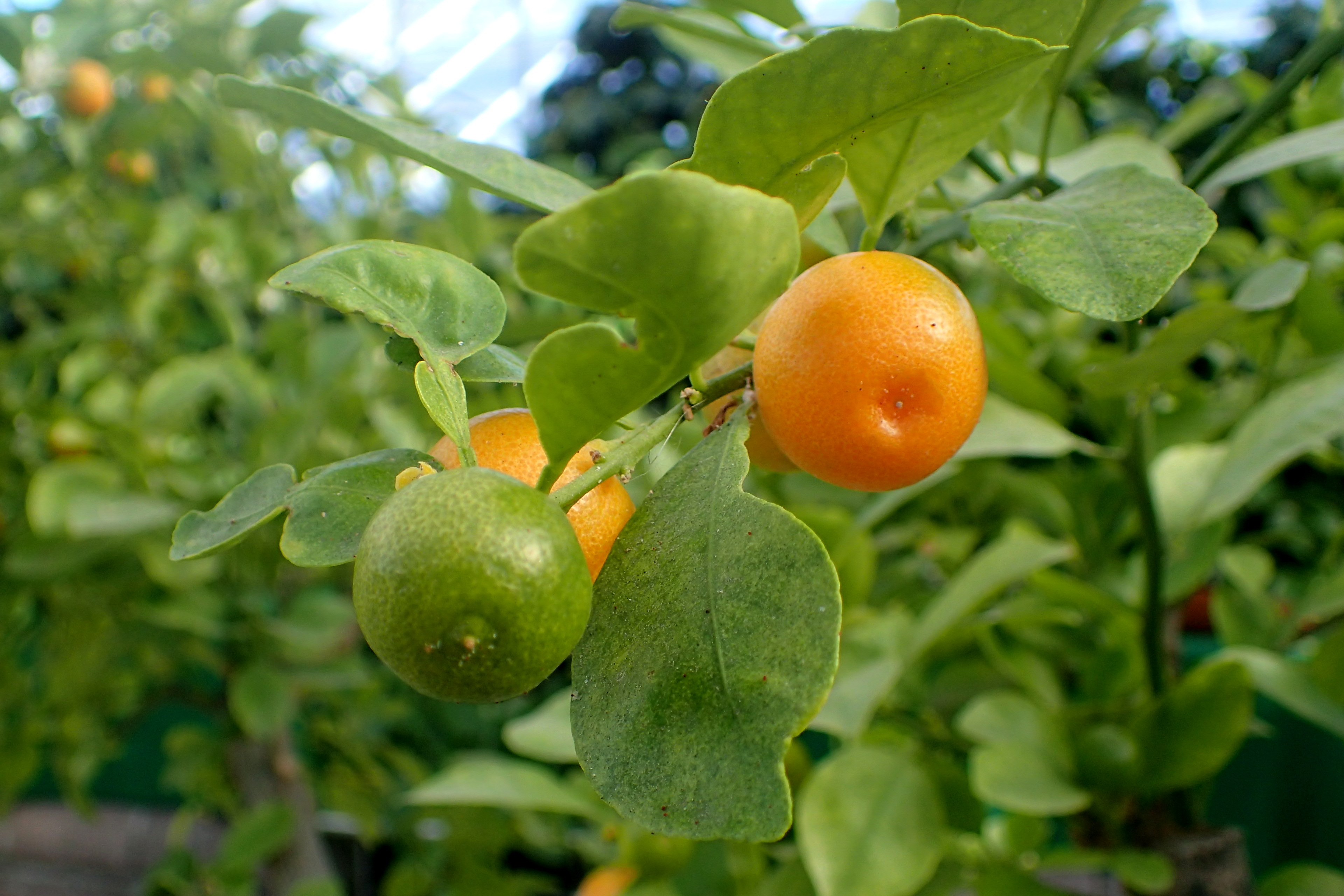 How many years before an orange tree produces