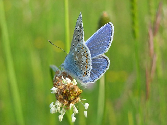 UK Native Butterflies in Decline Common blue - geograph.org.uk - 846509