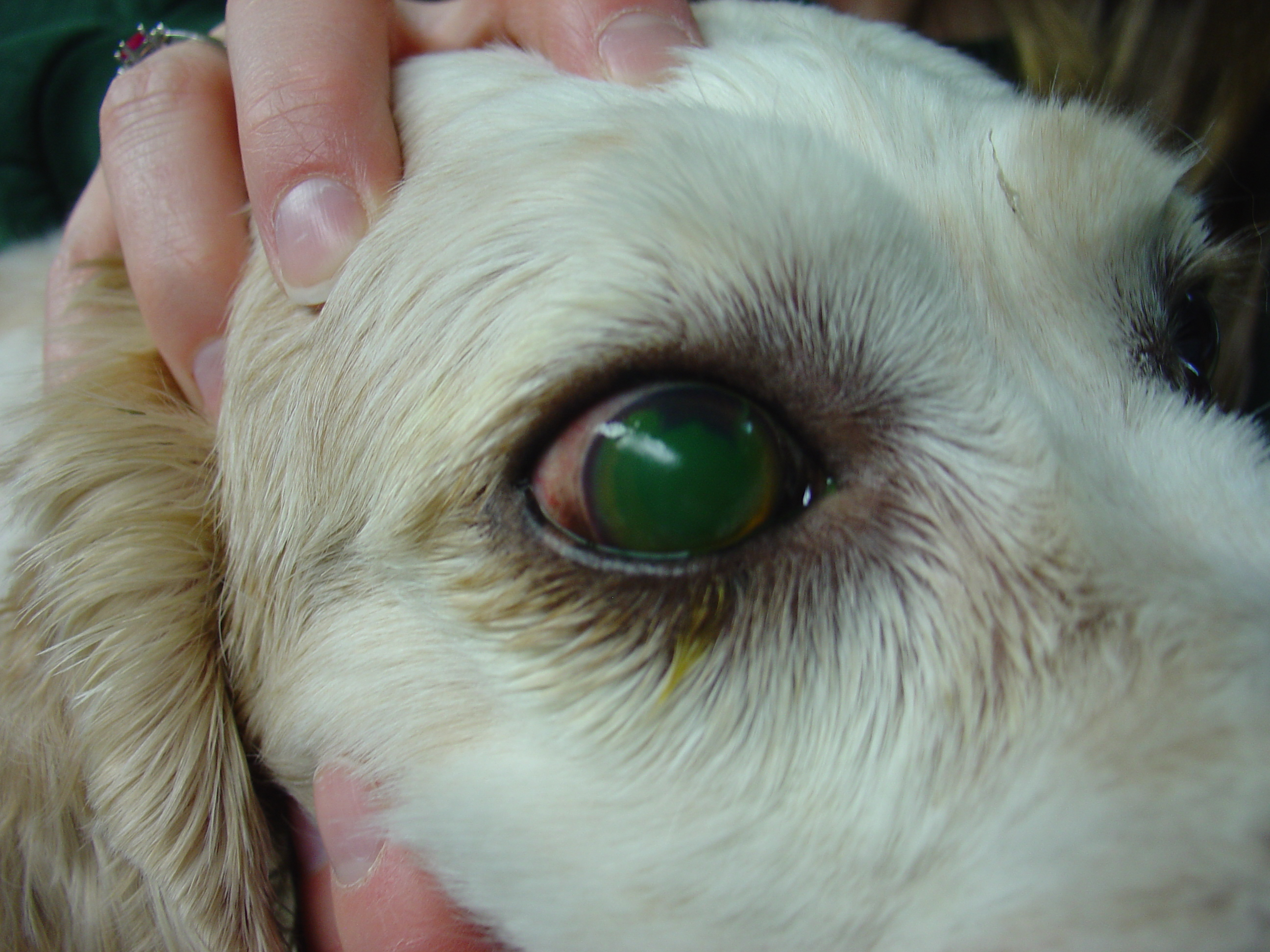 Images Of Ulcers In Dogs Eyes