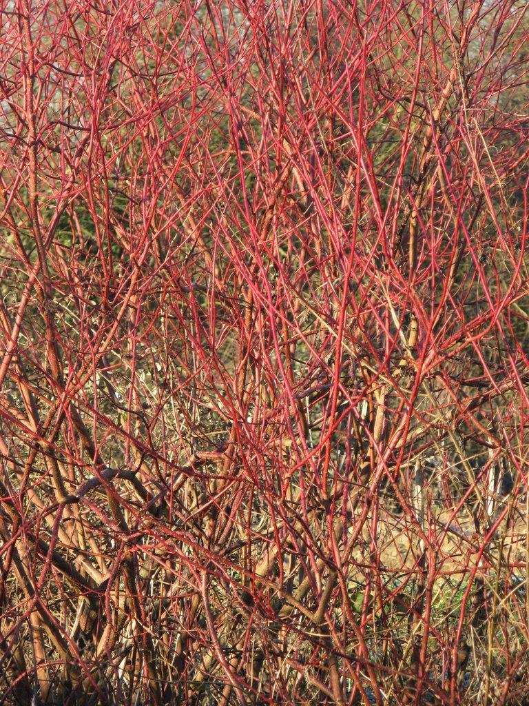branches du cornouiller en hiver