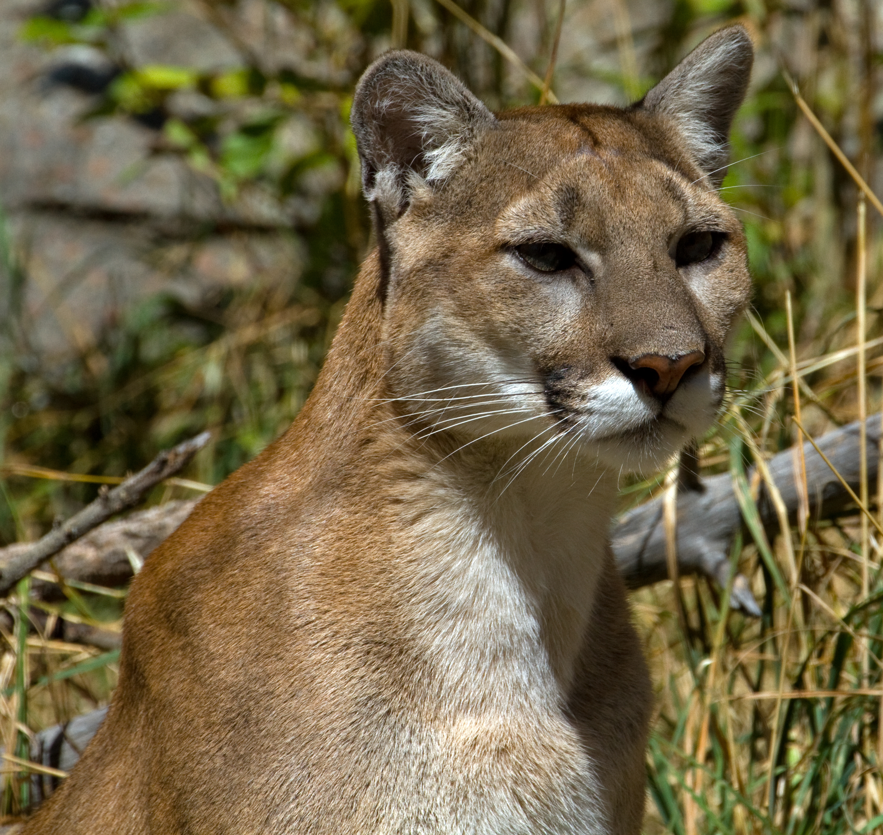 File:Cougar 1 (7974448176).jpg - Wikimedia Commons