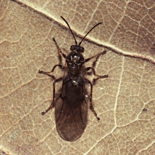 Hrčiarka listová