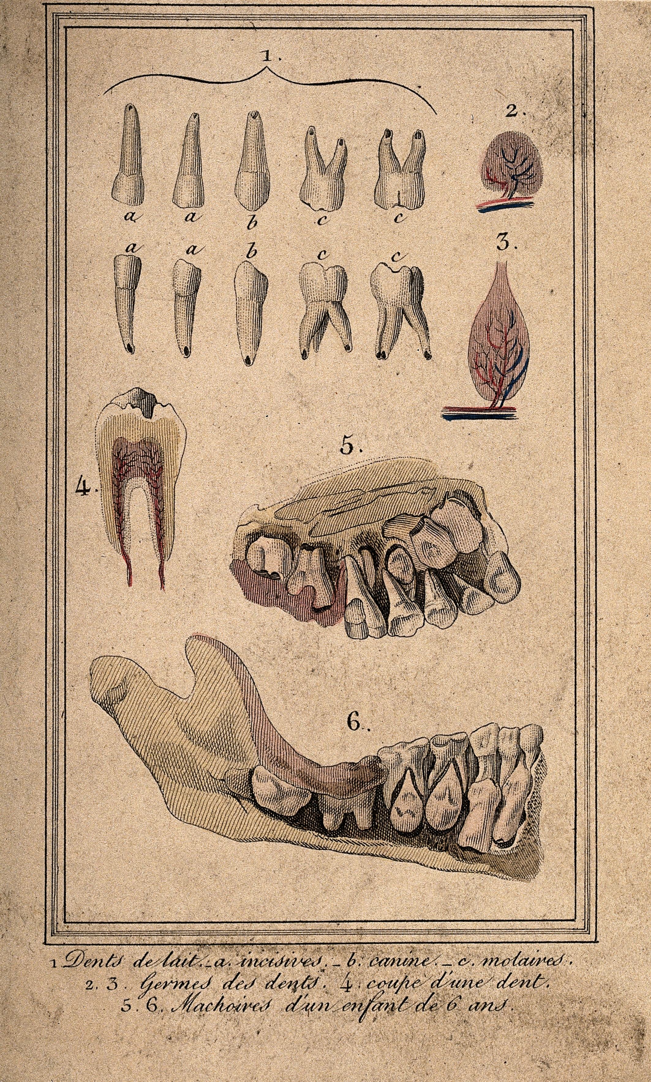 Filediagrams Of Incisors Canines And Molars A Diseased Tooth A