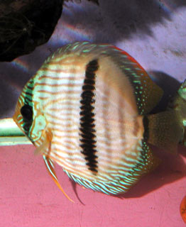 Photo prise en aquarium d'un discus Heckel du ...