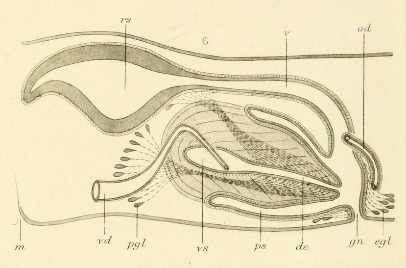 File:Dugesia annandalei copulatory.png - Wikimedia Commons