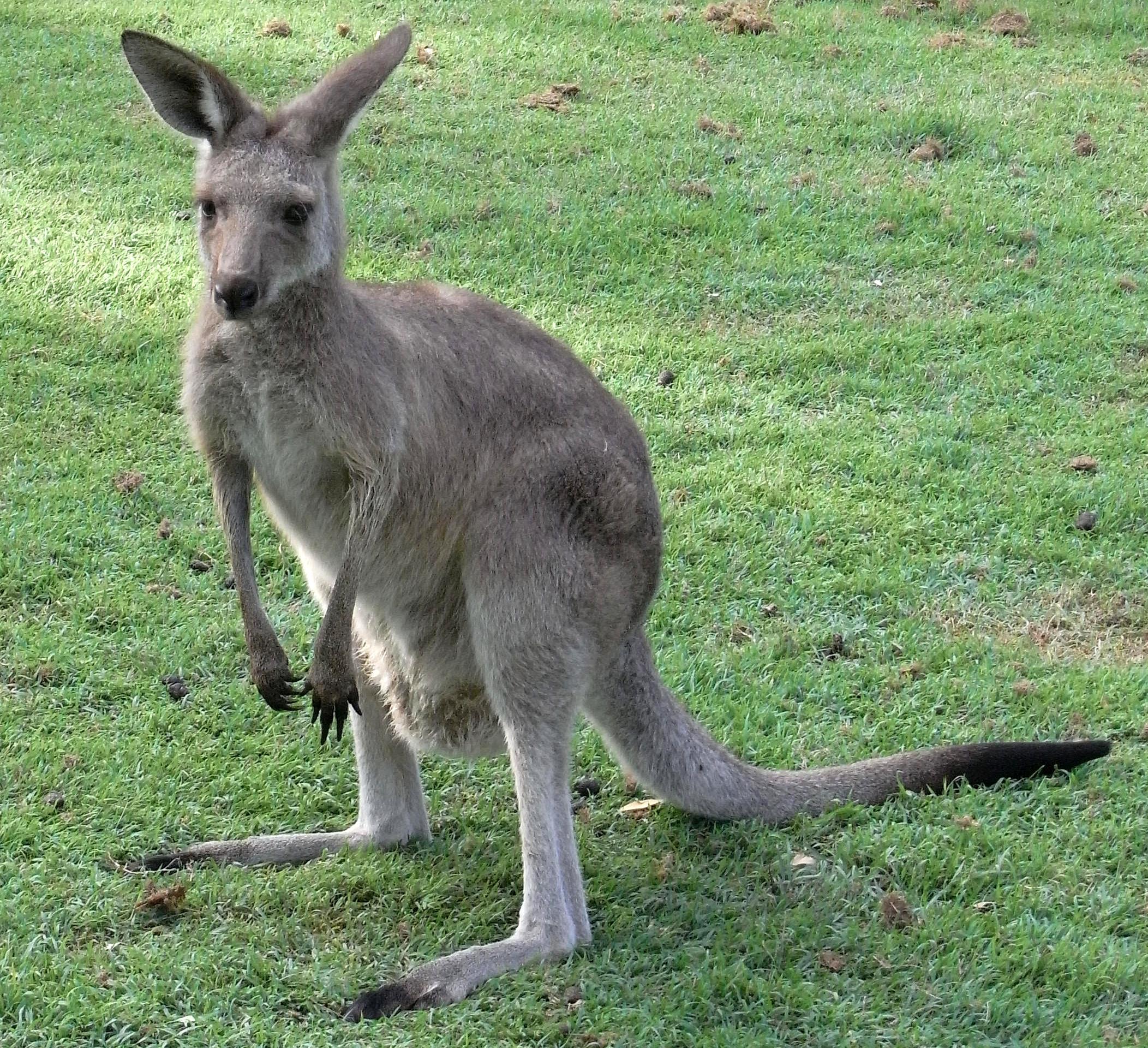 dateieastern grey kangaroo young waitingjpg � wikipedia