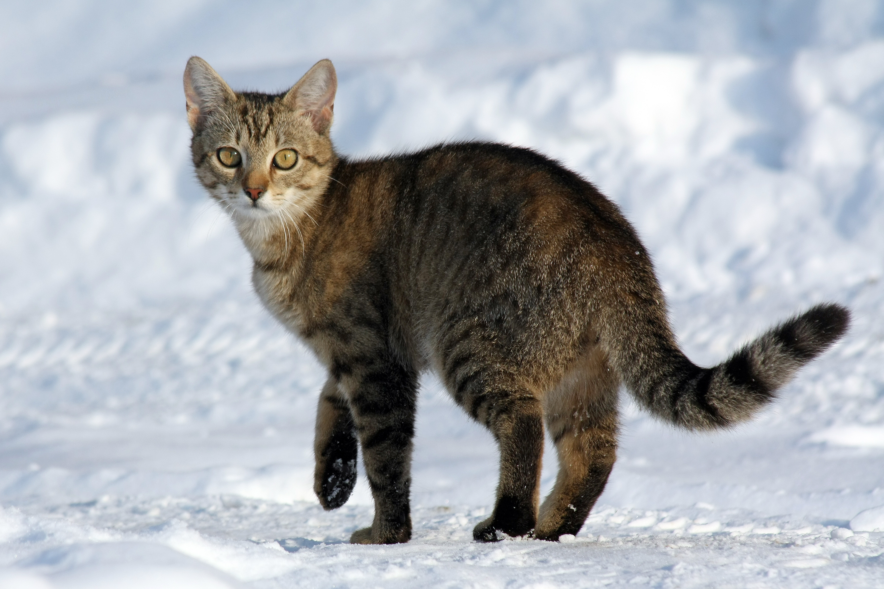 An image of a cat standing in the snow.