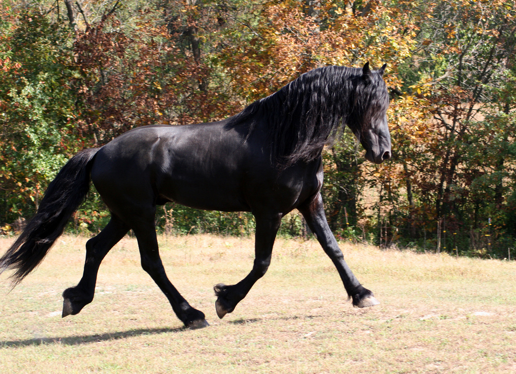 Friesian Horse Stallion. What Breed of horse is this?
