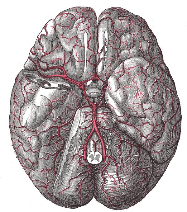 Arteria inferior posterior cerebelli – Wikipedia