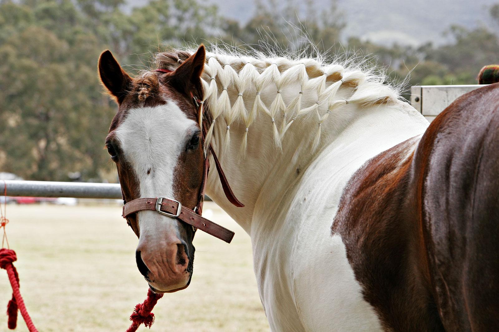 Horse with plaited mane.jpg