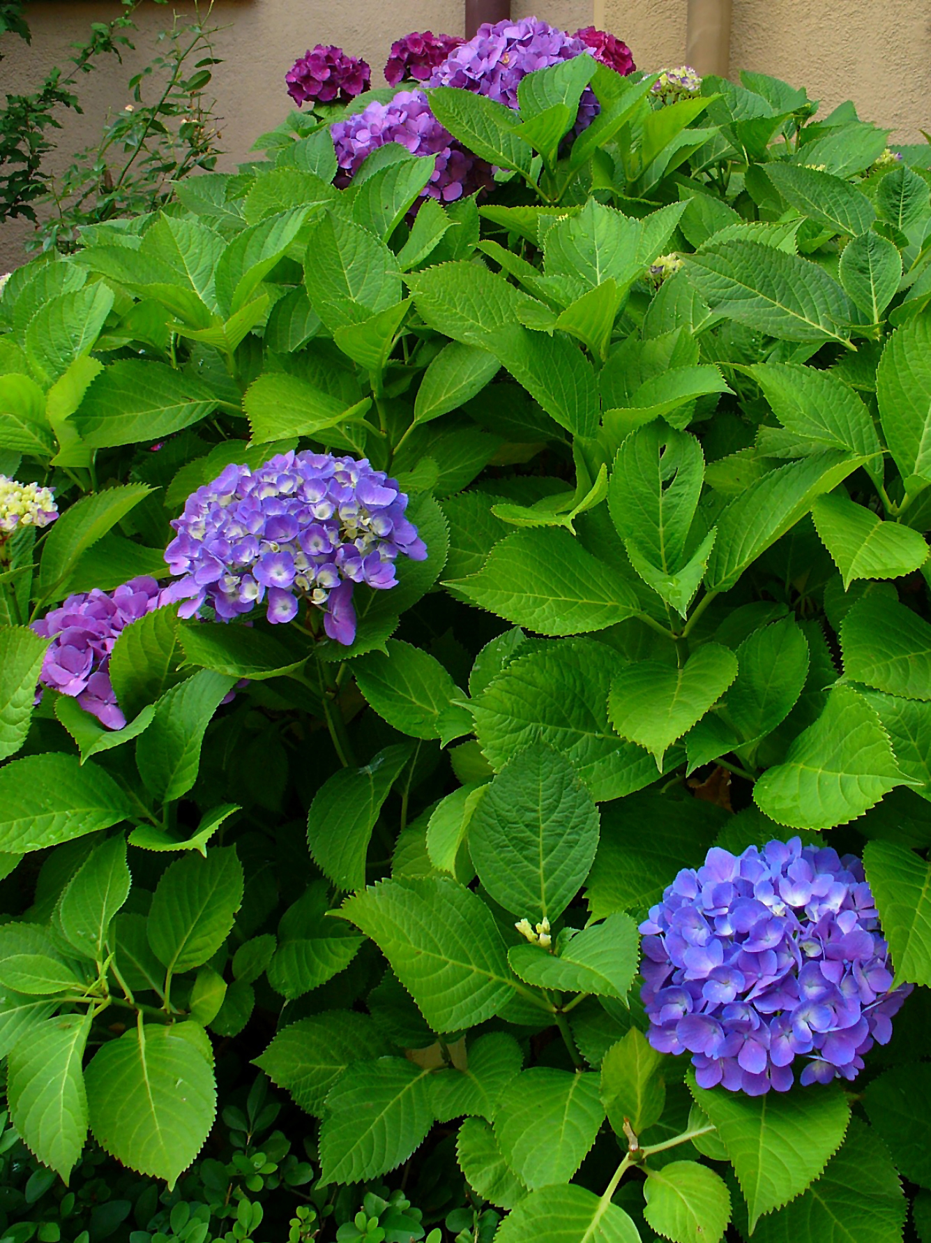 file hydrangea macrophylla 001 jpg wikimedia commons. Black Bedroom Furniture Sets. Home Design Ideas