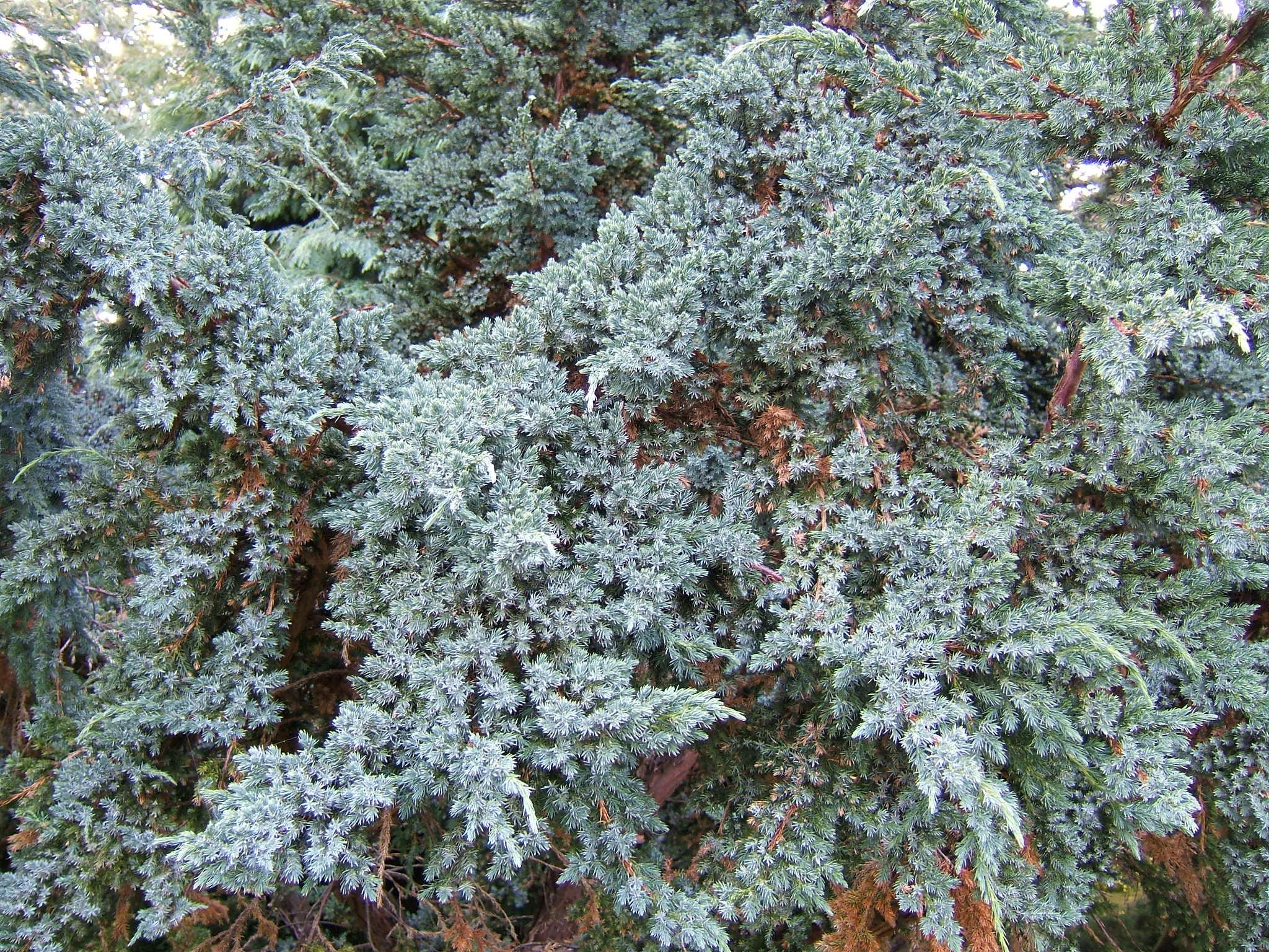 Juniperus arter