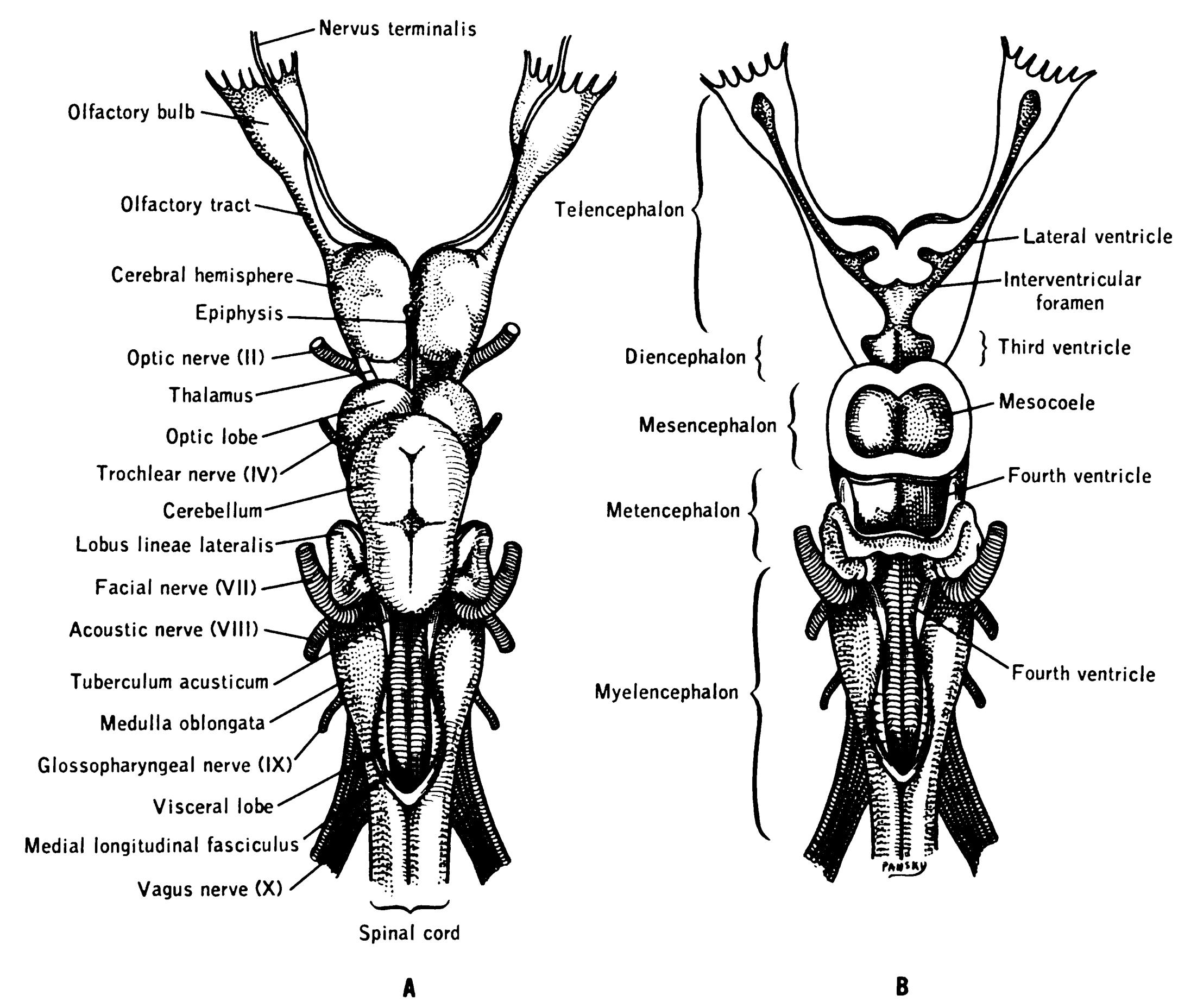 Terminal nerve - Wikiwand