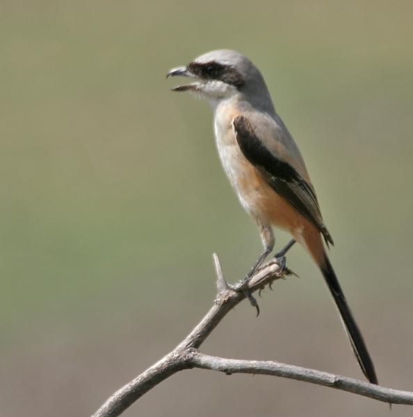 http://upload.wikimedia.org/wikipedia/commons/b/b6/Long-tailed_Shrike_%28Lanius_schach%29-_erythronotus_race_at_Bharatpur_I_IMG_5403.jpg