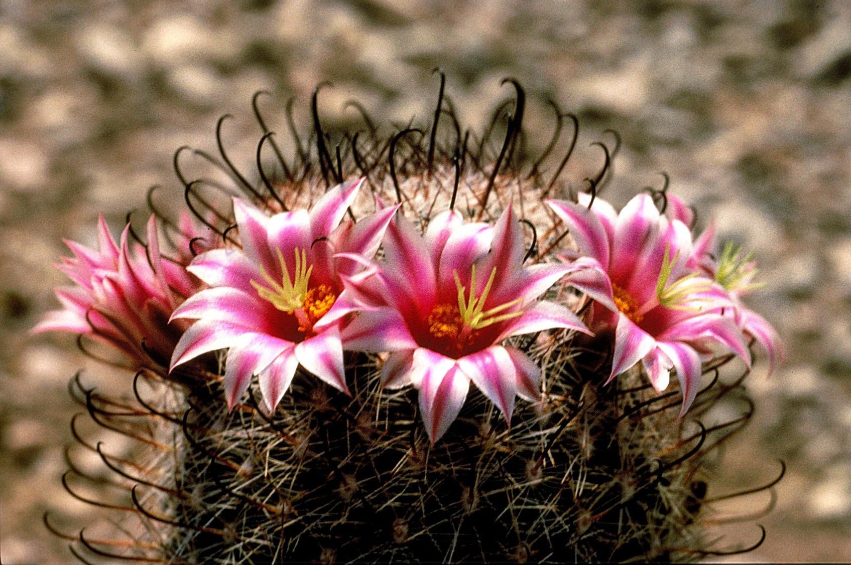 Fishhook Cactus Wikipedia