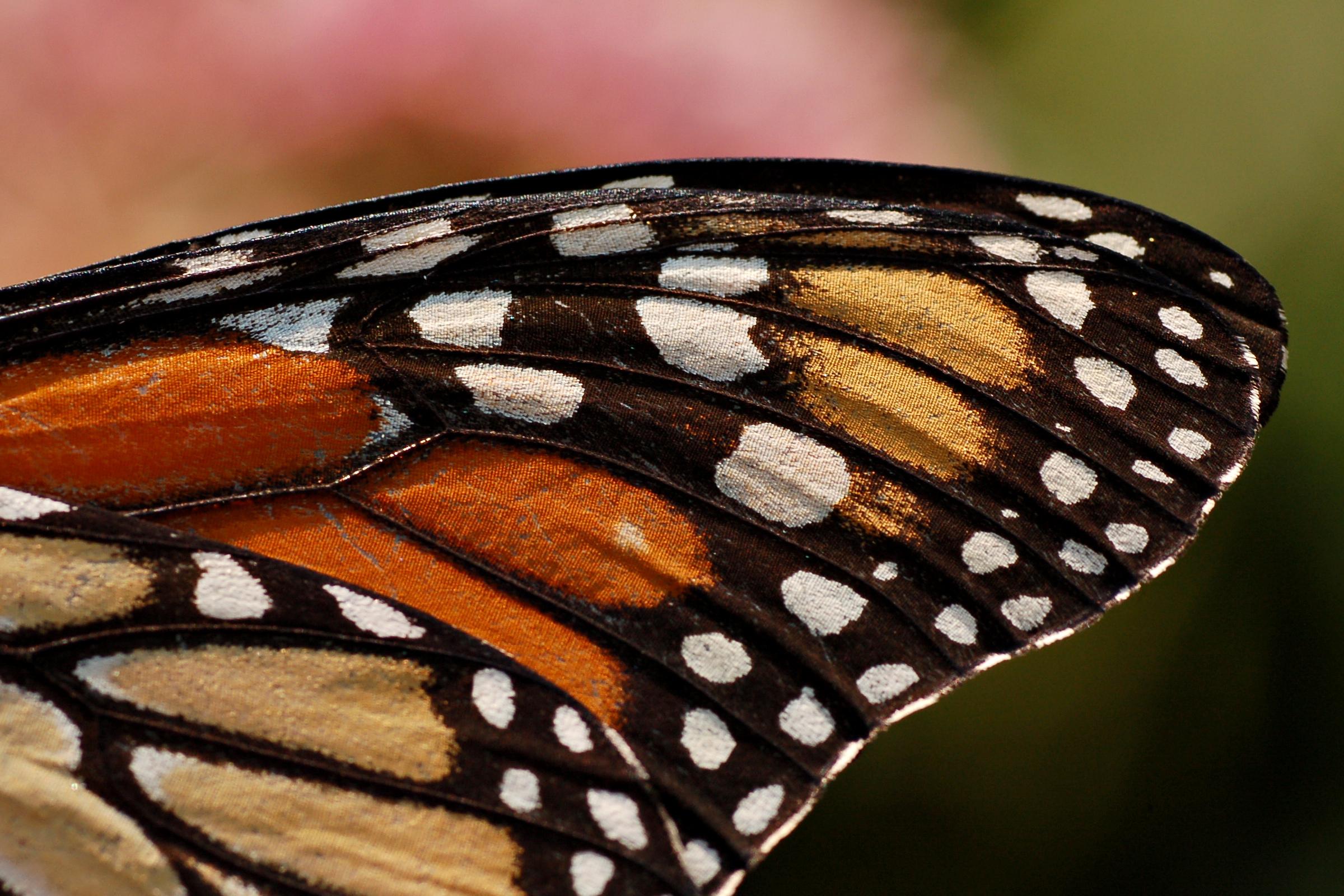 Monarch butterfly wings - photo#7