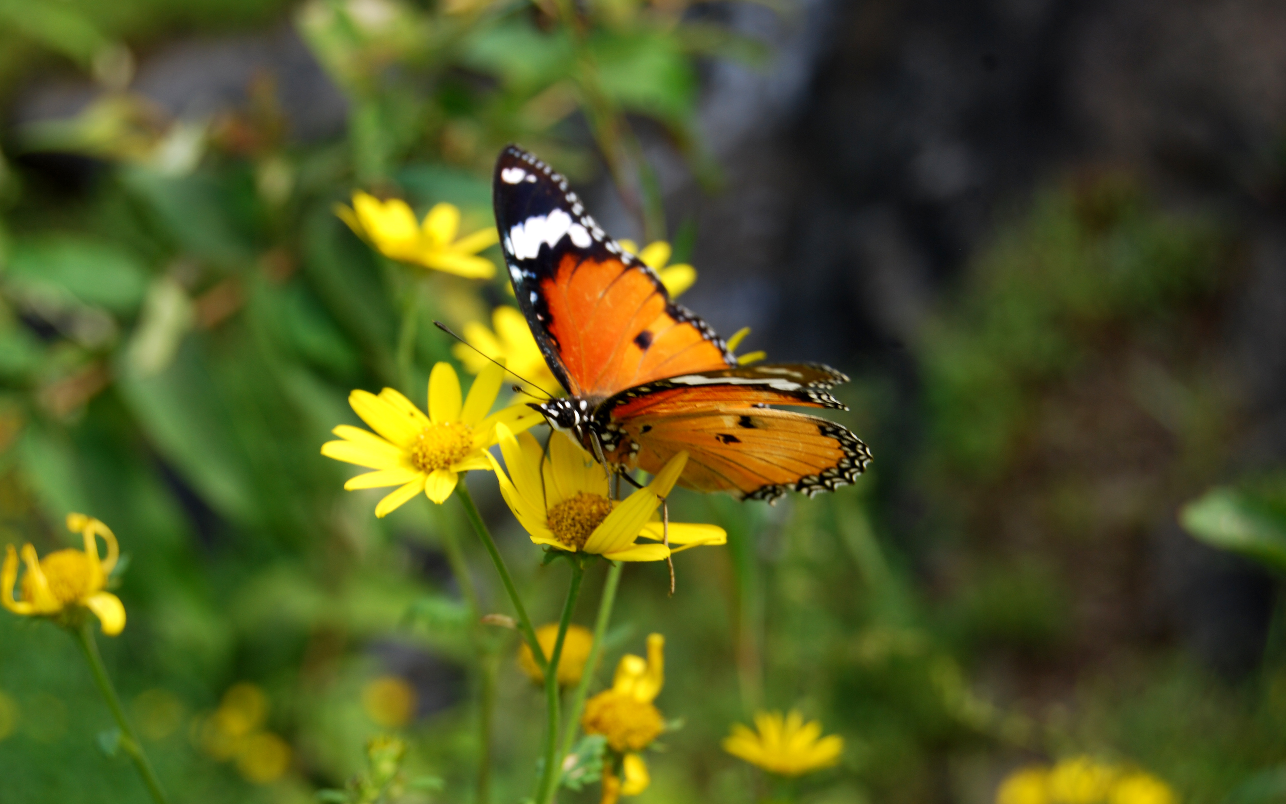 http://upload.wikimedia.org/wikipedia/commons/b/b6/Mountain_Butterfly_in_india.jpg