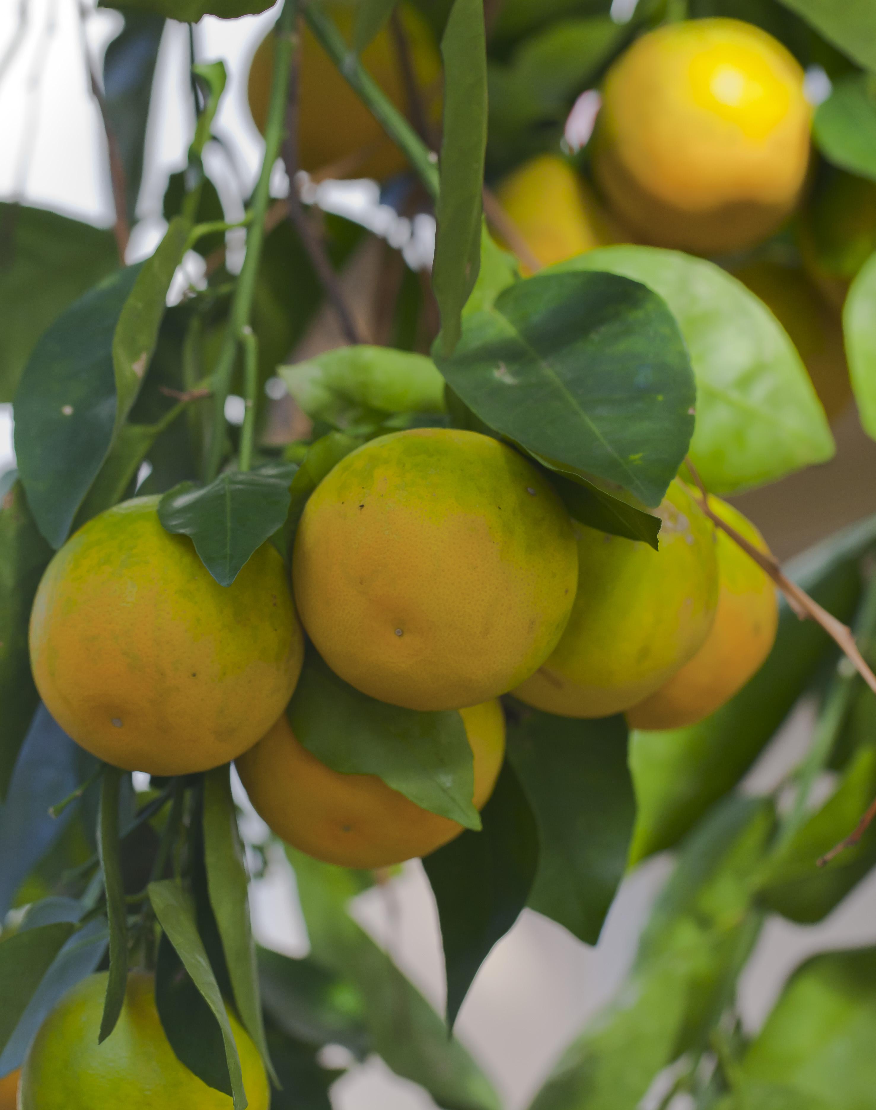 Citrus Sinensis Distribution File:naranja Citrus Sinensis