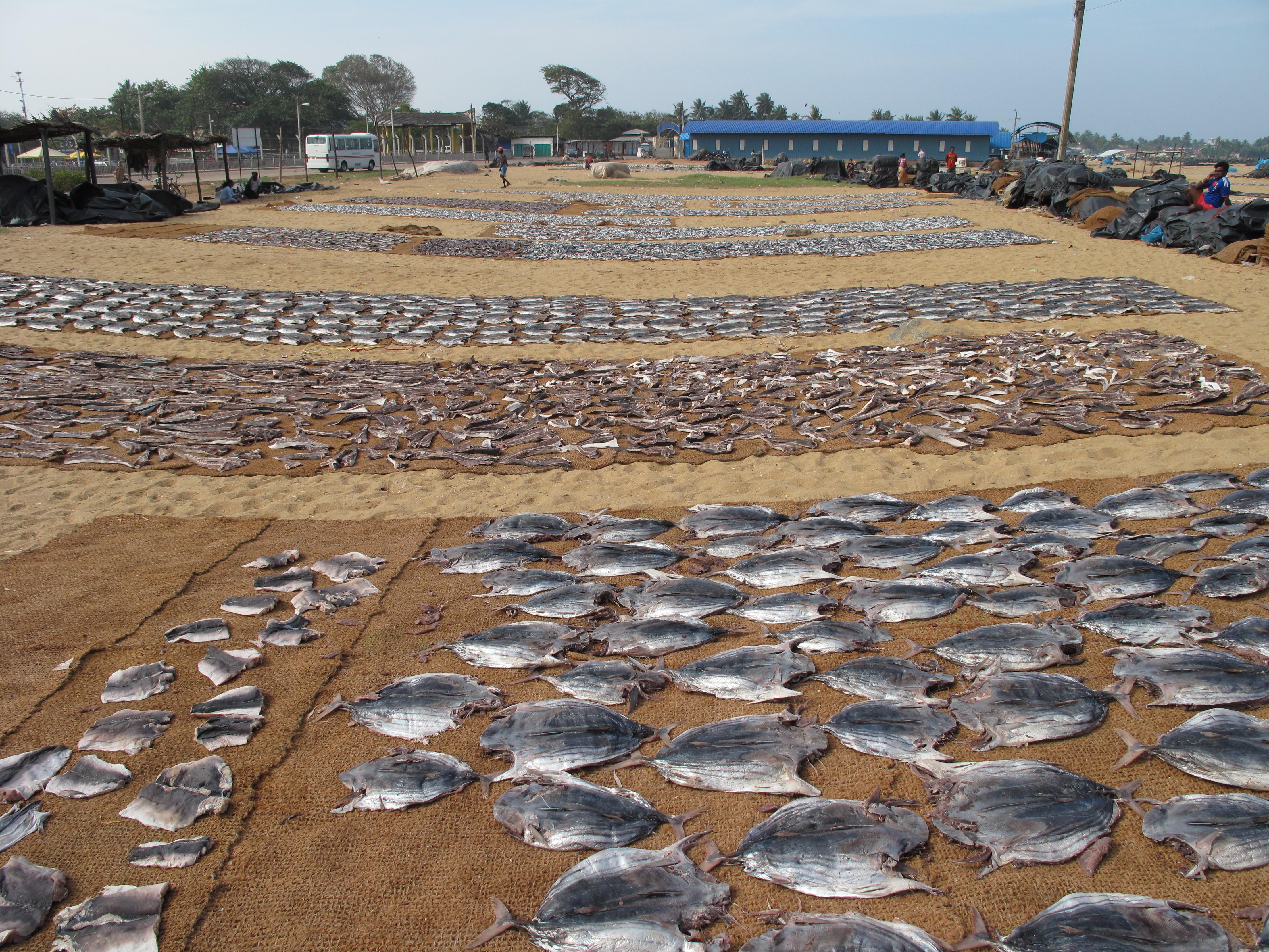 file negombo beach drying fish 001 jpg wikimedia commons