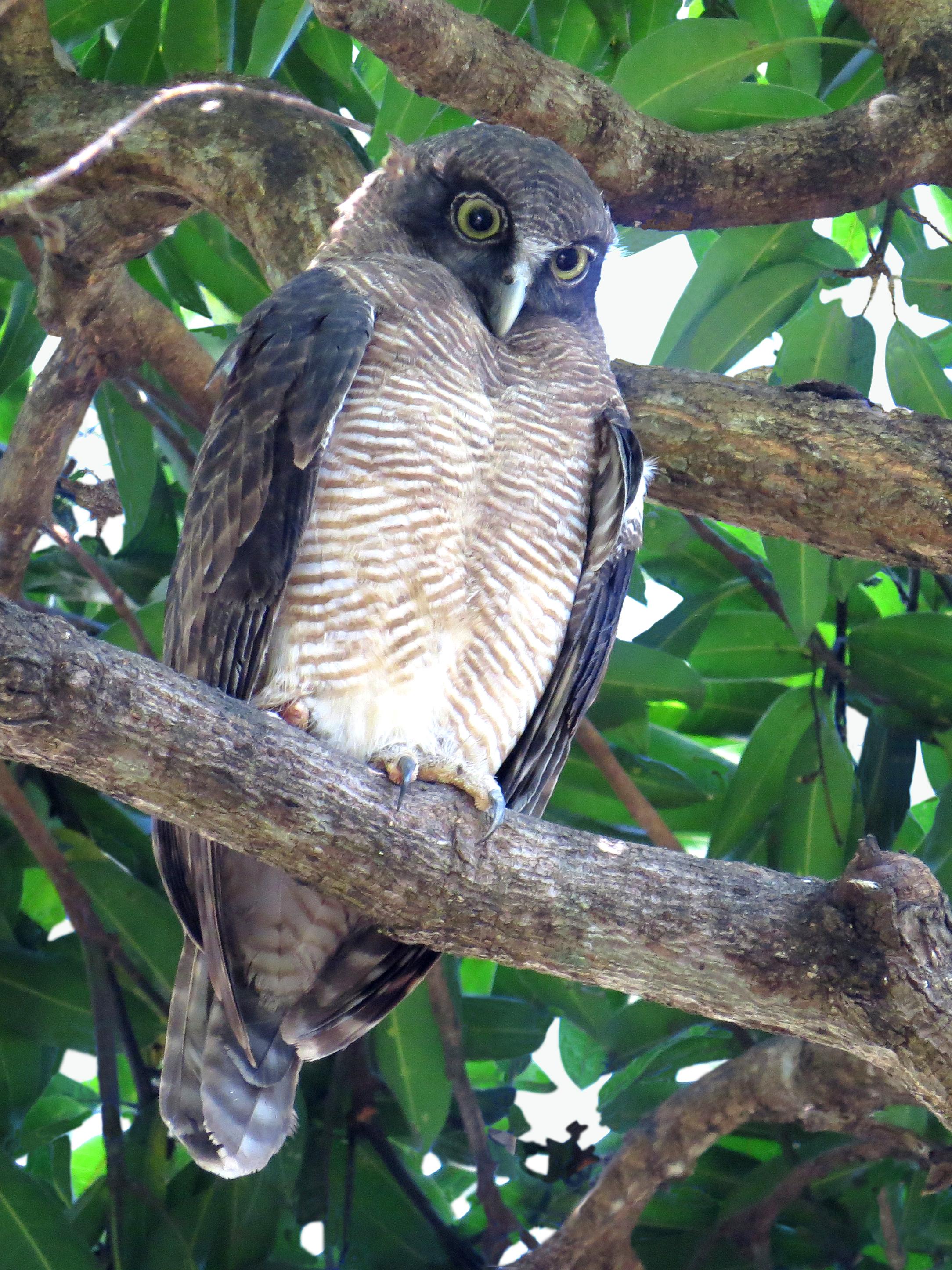 Rufous owl - photo#41
