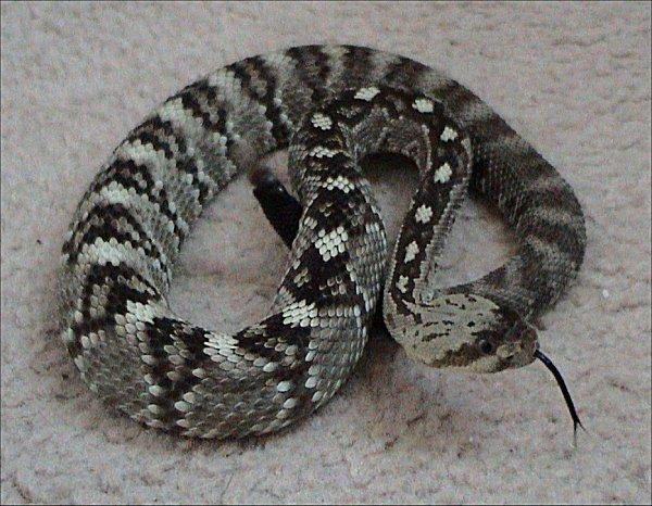 Resultado de imagem para Black-tailed rattlesnake