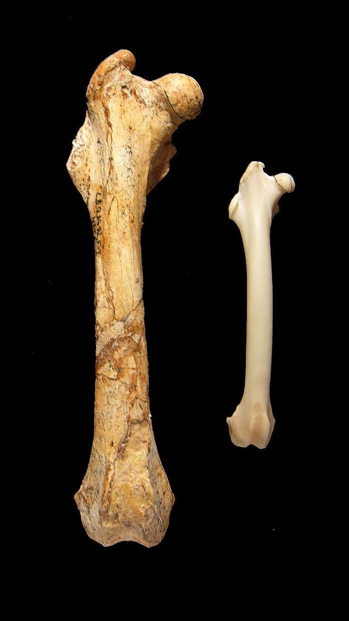 Filenuralagus Rexrabbit Femur Boneg Wikimedia Commons