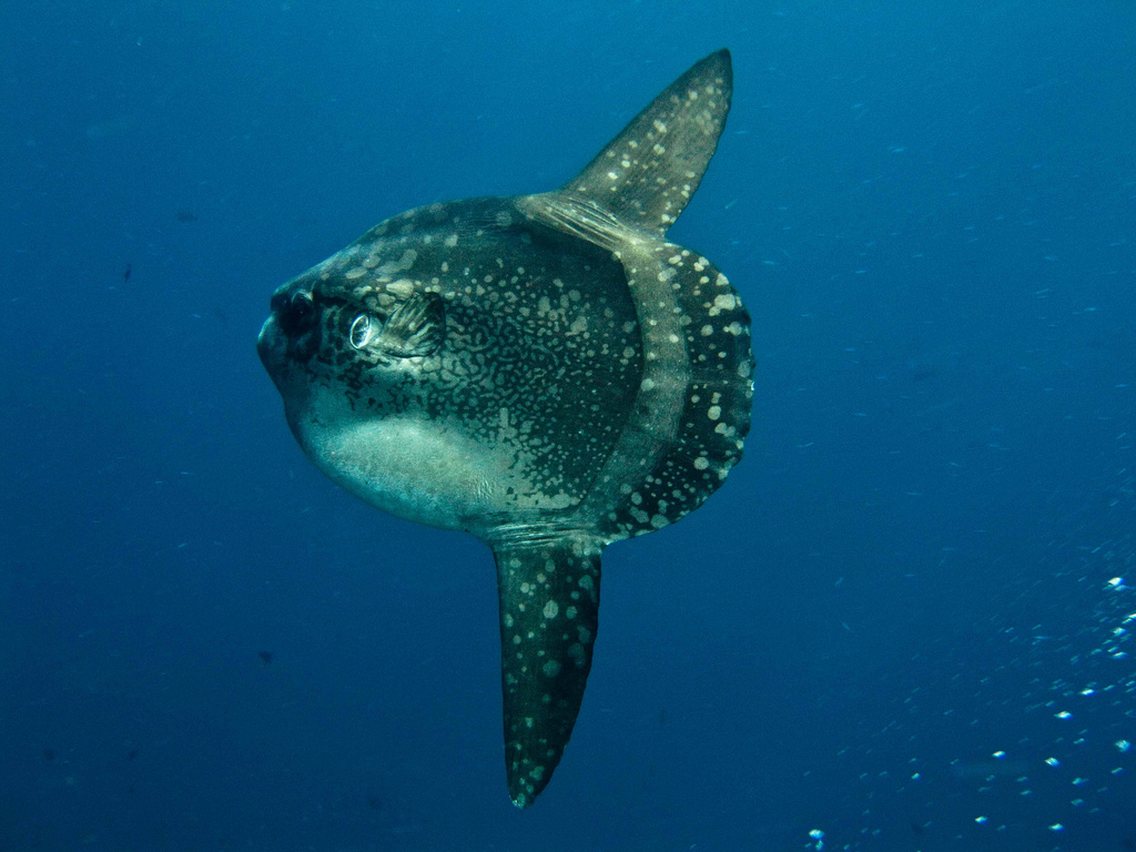 File nusa lembongan mola wikimedia commons for Mola mola fish
