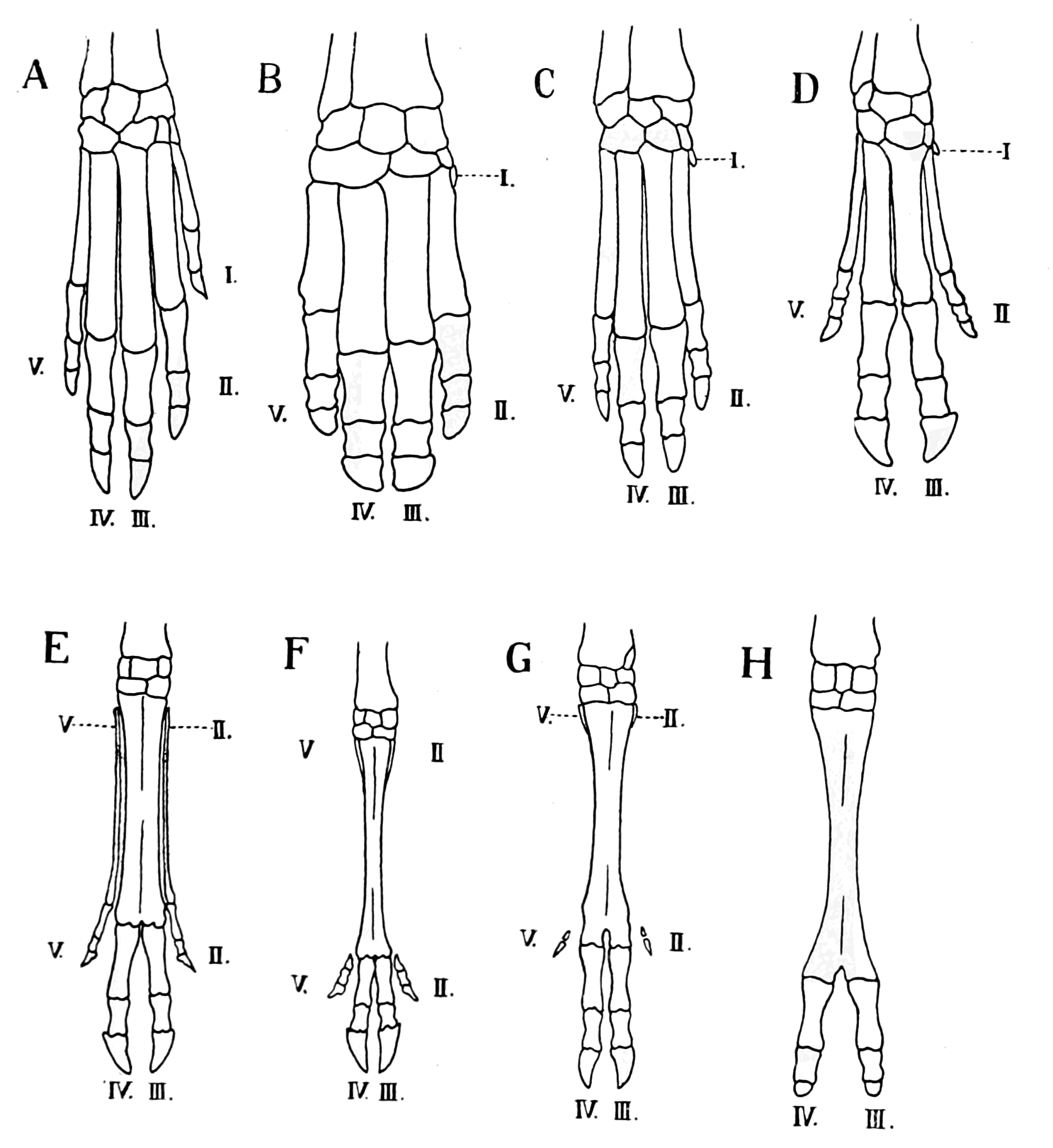 PSM V68 D347 Series of arteriodactyl extremities showing the reduction of digits.png